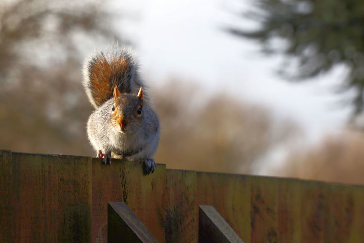 Close-up of squirrel on wooden railing