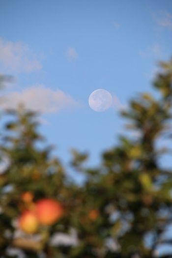 有明の月 林檎の木 Moon Apple