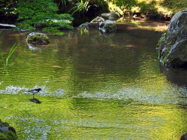 Kyoto Japan Arashiyama Hogonin Temple Garden Green Water Reflection Bird Beauty In Nature Outdoors Tree Day Healing Silence Olympus PEN-F 京都 日本 嵐山 宝厳院 獅子吼の庭 借景回遊式庭園