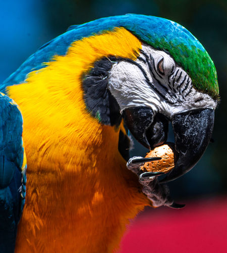 Parrot Color Eating Food Mockup Show Famous Bird Talking Tricks Animal Themes Zoo Show Human Body Part Forest Wilderness Instinct Vibrant Color Macaw Focus On Foreground Day Yellow Animal Head  Multi Colored Animal Eye Wildlife Vertebrate
