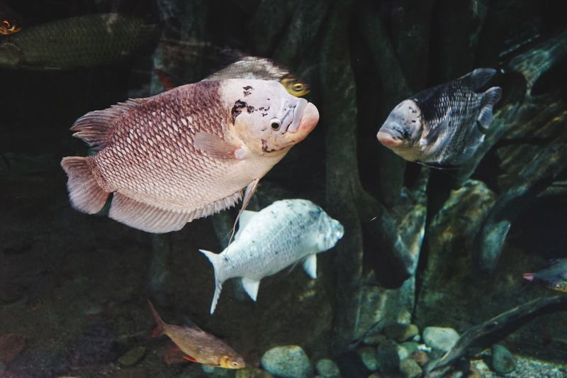 Full length of fish