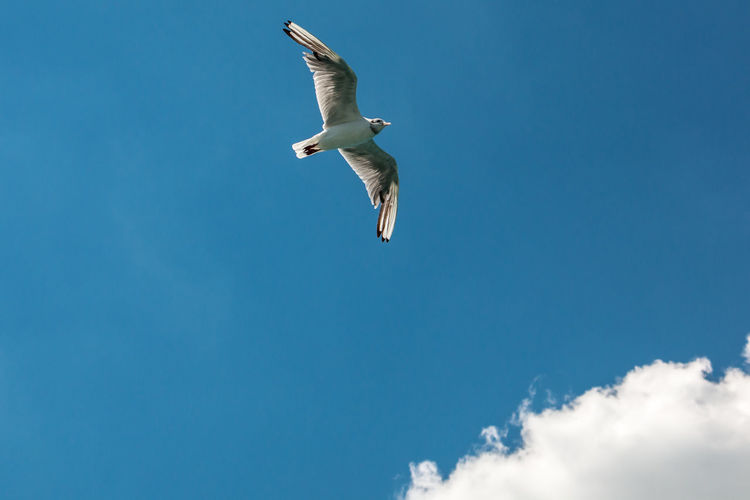 A flying sea gull in the blue sky with white clouds Flying Animals In The Wild Animal Wildlife Bird Low Angle View Spread Wings Vertebrate Sky Animal Themes Animal Mid-air One Animal Seagull Cloud - Sky Blue Nature Day No People Motion Freedom Outdoors