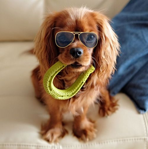 Puppy with sunglasses and rubber horse shoe