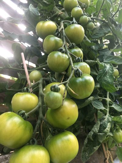 tomatoes Tomatoes Healthy Eating Food And Drink Food Growth Green Color Plant No People Nature Outdoors Close-up