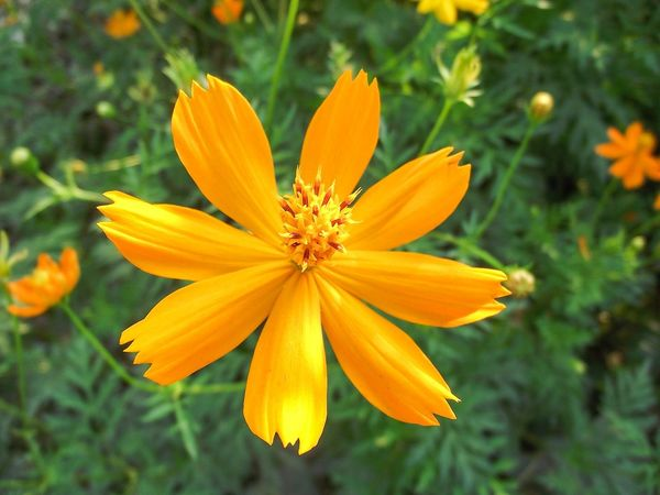 Cosmos Flower Cosmos Sulphureus Beauty In Nature Bloom Blooming Blossom Botany Close-up Day Flora Floral Flower Flower Head Fragility Freshness Growth Nature No People Outdoors Petal Plant Pollen Yellow