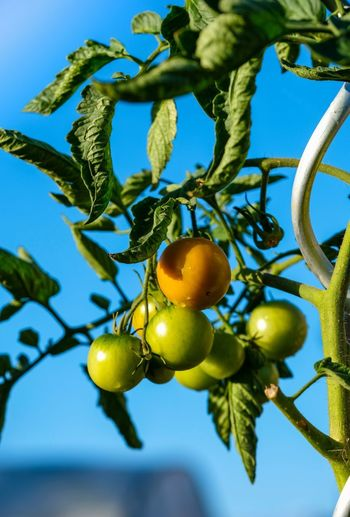 Tomatenpflanze Agriculture Beauty In Nature Branch Close-up Day Food Food And Drink Freshness Frucht Fruit Green Color Growth Healthy Eating Leaf Low Angle View Nature No People Outdoors Plant Ripe Sky Tree Wellbeing
