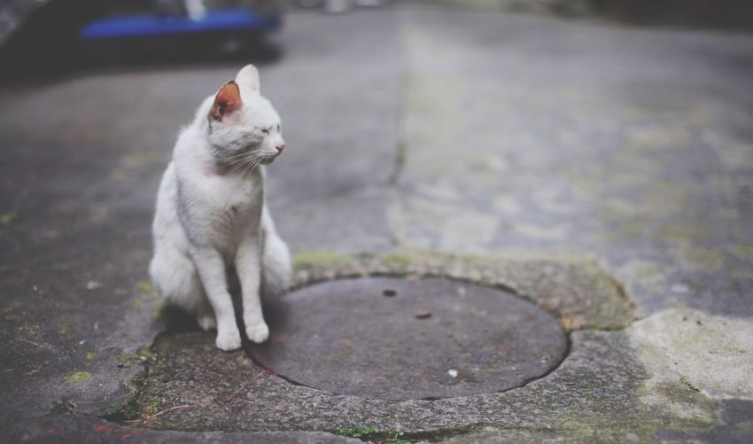 Cat Sitting By Manhole Covered With Lid