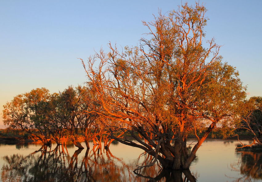 Sunrise over a dam in outback Australia EyeEm Best Shots EyeEm Nature Lover Outback Autumn Beauty In Nature Branch Change Clear Sky Day Fall Growth Lake Nature No People Orange Color Outdoors Plant Reflection Scenics - Nature Sky Sunrise Tranquil Scene Tranquility Tree Water