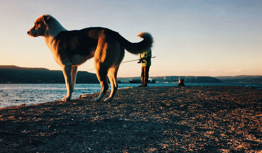 Dog standing on beach against sky during sunset