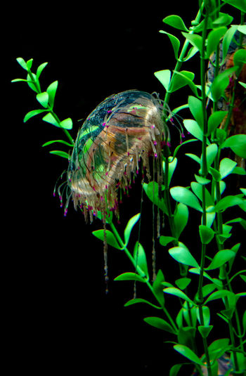 beautiful jelly fish swimming in colorful light filled tanks in a local aquarium Trailing Tentacles Alive  Aquatic Jelly Fish Animal Aquarium Aquarium Life Biology Colorful Free-swimming Gelatinous Invertebrates Jelly Fish In Motion Jellyfishes Mysterious Creatures Pulsate Salt Water Sea Life Softbodied Tank Underwater