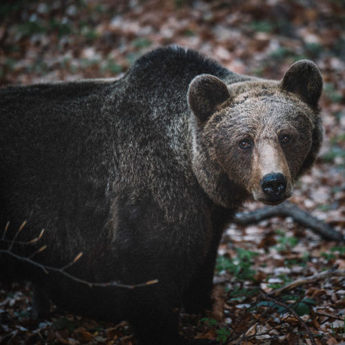 Animals In The Wild Bear Wildlife & Nature Wildlife Photography Animal Themes Animal Wildlife Animals In The Wild Bear Beauty In Nature Brown Bear Day Field Focus On Foreground Forest Land Looking At Camera Mammal Nature No People One Animal Outdoors Portrait Snout Vertebrate Wildlife The Great Outdoors - 2018 EyeEm Awards