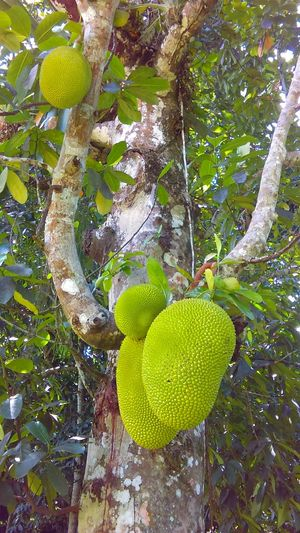First time seeing a Jackfruit tree! Jackfruits Beauty In Nature Plants Nature Is Awesome Jamaican Vibes Fruits Tropical Jamaican Plants - Early Harvest Taste Of The Tropics Tropical Beauty