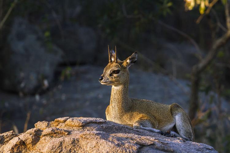 Deer sitting on rock