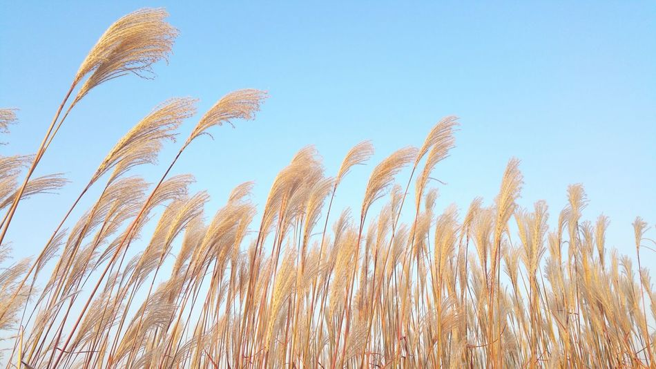 Beautiful blue sky a great contrast against the silvergrass.. Pastel Power Silver Grass Baby Blue Blue Sky No People HaneulPark Seoul Nature Blue Wave Perspectives On Nature
