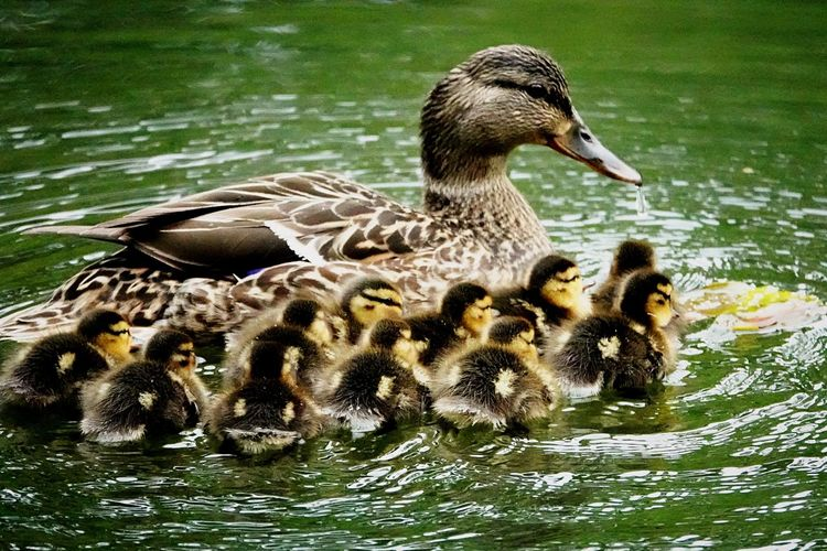 Ducklings Baby