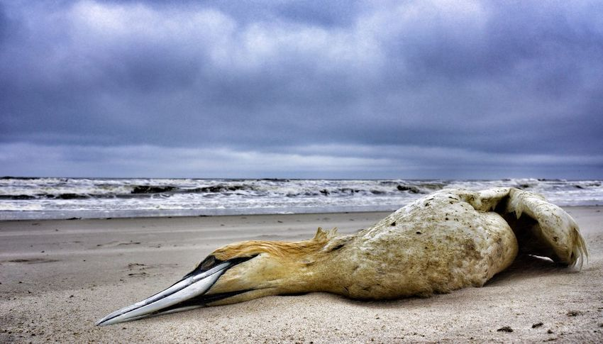 Gannet Death Bird Beachphotography Dramatic End Life Life Is A Beach Beach Photography Beach Life Cloudy Cloud Lonely Colours Sony NEX Special Moment Sunday Morning From My Point Of View Netherlands Holland Texel  Cloud And Sky Sand Pastel Colors
