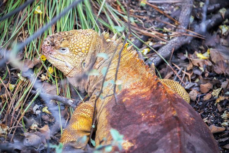 High angle view of galapagos land iguana on field