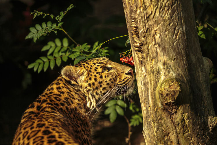 Leopard Looking At Tree In Forest
