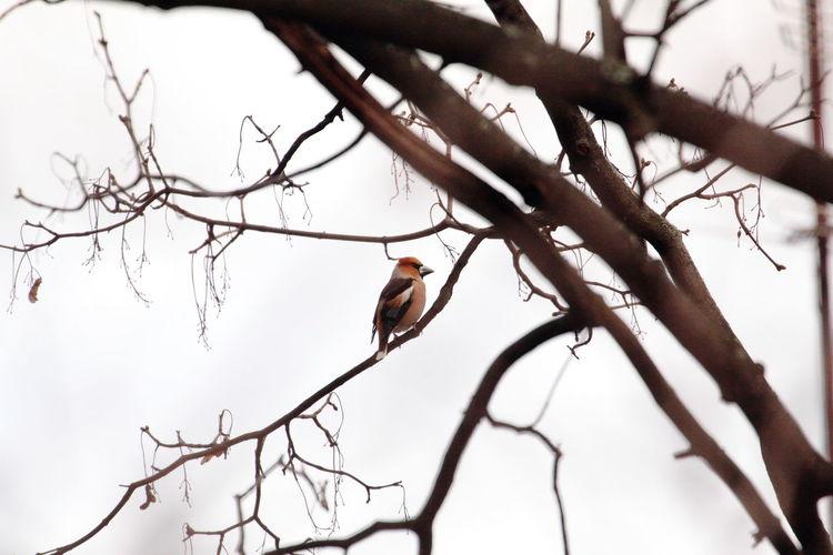 Bouvreuil Pyrrhula Pyrrhula Erythrocephala Bullfinches Ornithology  Bird