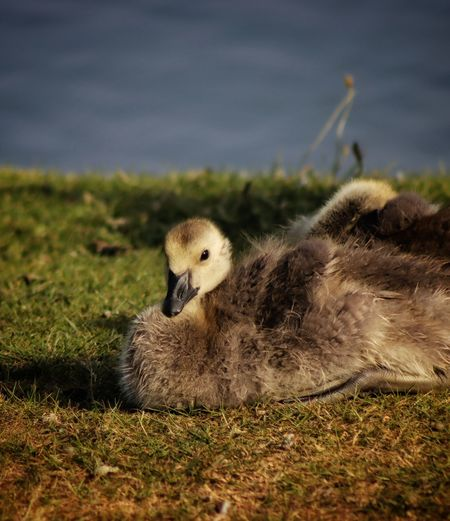 Close-up of a gosling on field