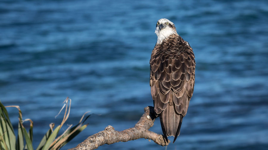 Portrait of osprey perching on branch against sea