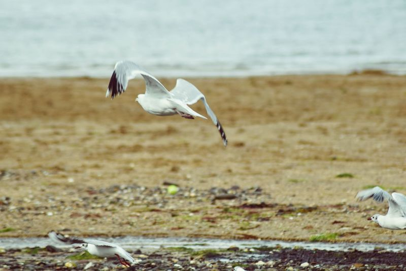 Close-up of seagull flying over beach