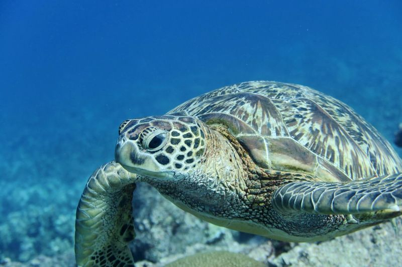 guam Turtle 🐢 Underwater Diving One Animal Traveling