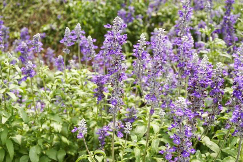 Beauty In Nature Beauty In Nature Bloom Blossom Botany Close-up Day Flora Floral Flower Flower Head Forget Me Not Flower Fragility Freshness Garden Growth Lavender Nature No People Outdoors Park Plant Purple Salvia Splendens Scarlet Sage Scented