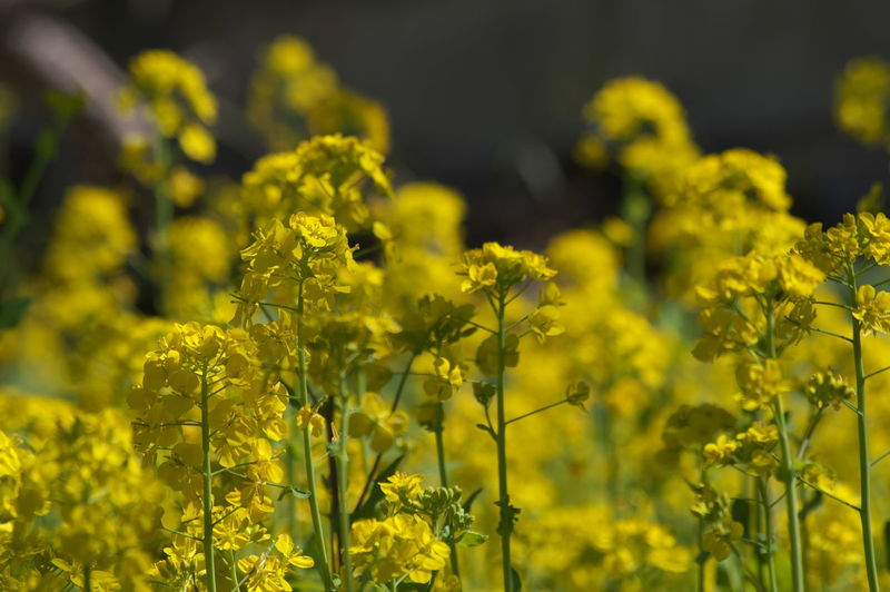Yellow Flower Flowering Plant Plant Beauty In Nature Oilseed Rape Growth Field Freshness Agriculture Land Nature Selective Focus Crop  Landscape Rural Scene Day Fragility Close-up Mustard Plant No People Springtime Outdoors