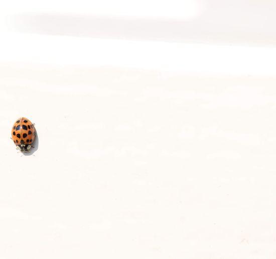 ladybird on