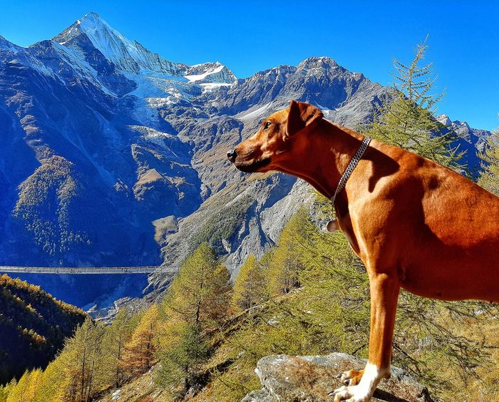One Animal Domestic Animals Animal Themes Outdoors No People Nature Sky Low Angle View Day Nesta Rhodessian Ridgeback Dog Dogslife Switzerland Cervin Matterhorn  Lost In The Landscape EyeEmNewHere Second Acts Perspectives On Nature Be. Ready. EyeEm Ready