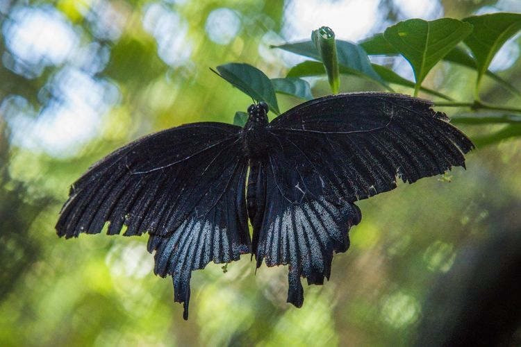 Animals In The Wild Animal Animal Themes Animal Wildlife Animals In The Wild Beauty In Nature Black Butterfly Butterfly Butterfly - Insect Butterfly Collection Close-up Closeup Fragility Freshness Insect Nature One Animal Spread Wings