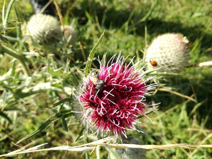 Beauty In Nature Close-up Day Field Flower Flower Head Flowering Plant Focus On Foreground Fragility Freshness Growth Inflorescence Land Nature No People Outdoors Petal Plant Purple Spiked Thistle Vulnerability