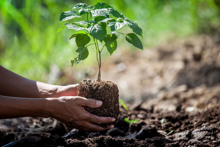 Cropped Hand Of Man Planting Plant In Soil