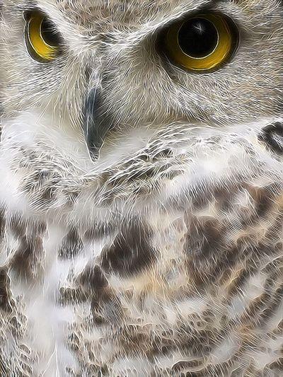 Digger 💕 Canadese Oehoe / Northern Great Horned Owl CanadeseOehoe NorthernGreatHornedOwl Owl Birdsofprey Birdofprey Bird Bird Photography EyeEm Birds Predator Wildlife