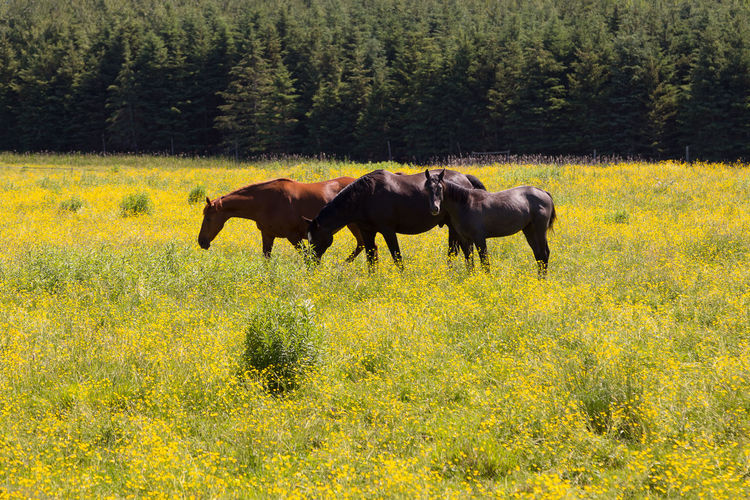 Three horses in blooming yellow rapeseed field
