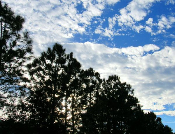 Pine Trees Silhouette Diagonal Perspective Blue Sky And Clouds Beauty In Nature Outdoor Photography