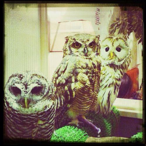 Owl Hornedowl  Birds at Bird Café in Tokyo, Japan.