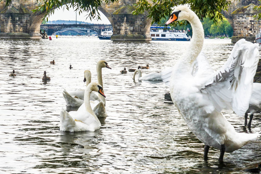 water bird Animal Themes Animal Wildlife Animals In The Wild Bird Black Swan Day Floating On Water Lake Nature No People Outdoors Swan Swimming Water Water Bird White Color