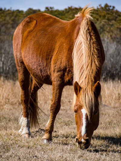 Close-up of horse grazing on field