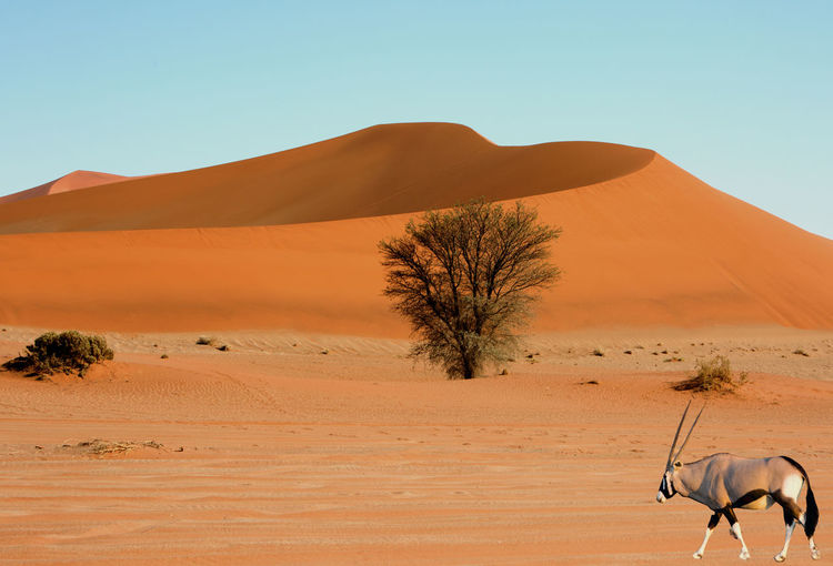 Oryx walking at desert against sky