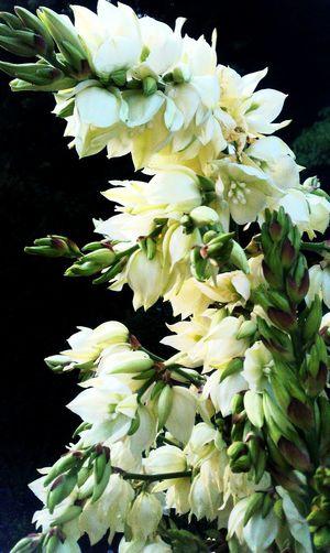 Yuccaflaccia Schlafepalmlilie Palmlilie Flowerporn Flowers,Plants & Garden Floweroftheday Flowerphotography EyeEmNewHere