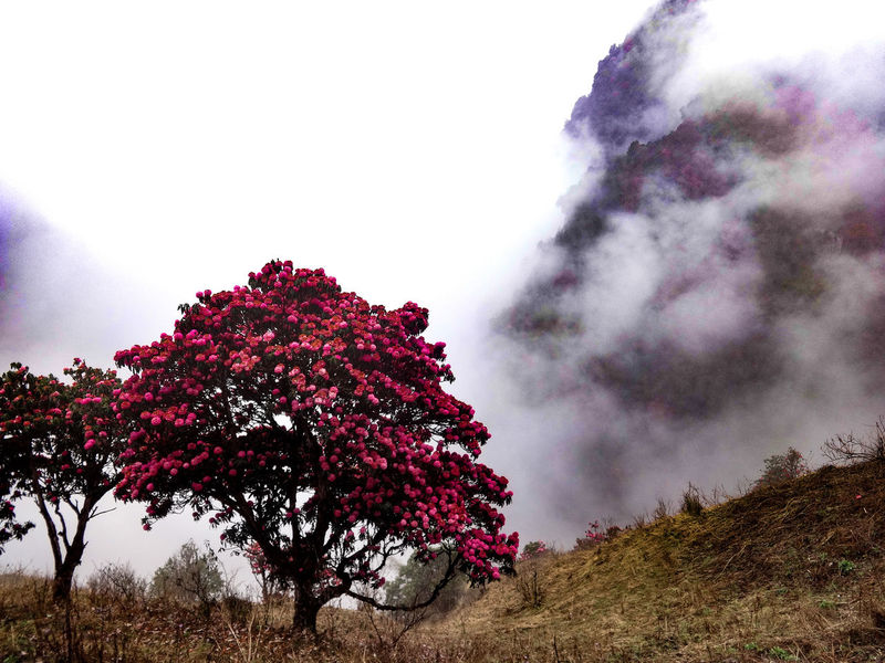 Nature Growth Tree Beauty In Nature Sky Red Flower No People Freshness Outdoors Fragility Day Close-up Cold Temperature Landscapes Mountain Range Foggy Landscape Rhododendron Foggy Mountains Colorful Trees Tranquil Scene Nepal Landscape_Collection