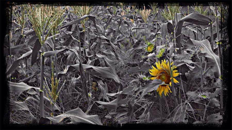 EyeEm Nature Lover Summer2014 Japan 眠レナイ夜は、眠ラナイ歌ヲ Sunflower