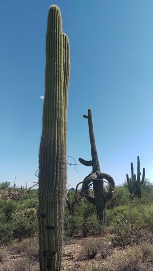 Arizona Arid Climate Beauty In Nature Blue Cactus Clear Sky Day Dead Tree Field Growth Landscape Low Angle View Nature No People Outdoors Plant Saguaro Cactus Scenics Sky Tranquil Scene Tranquility Tree