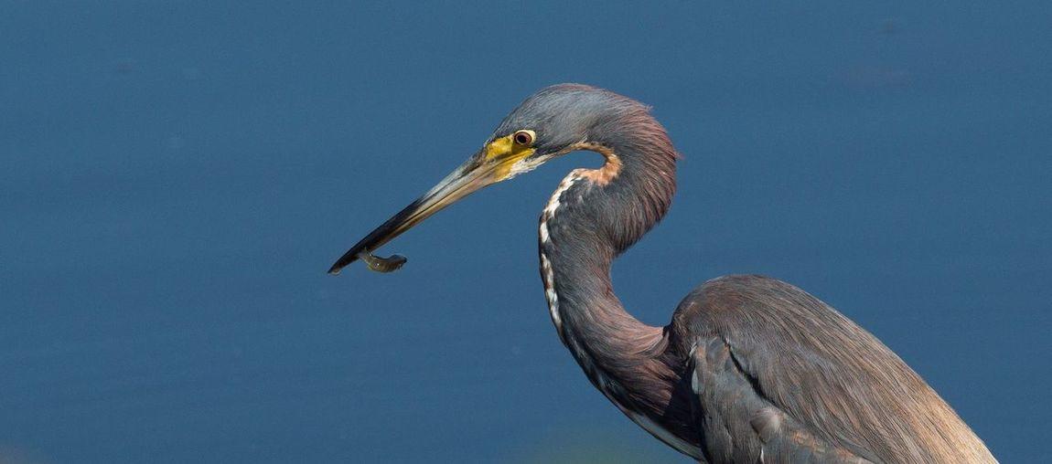 Close-up of gray heron feeding in lake