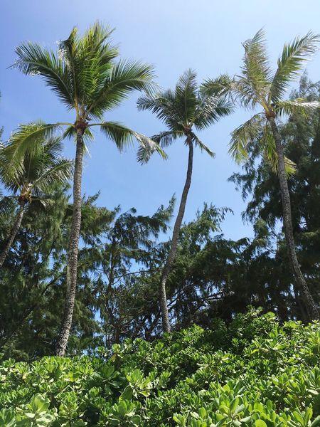 Hawaii Life Kailua Beach Palm Trees Beach Photography Sand & Sea