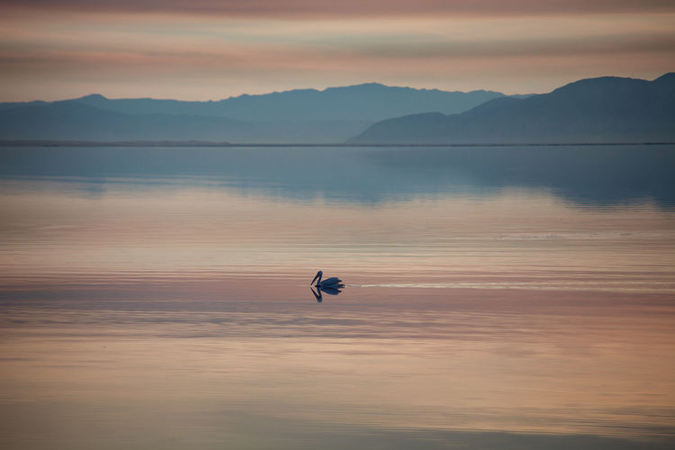 Silhouette pelican in lake against sky during sunset
