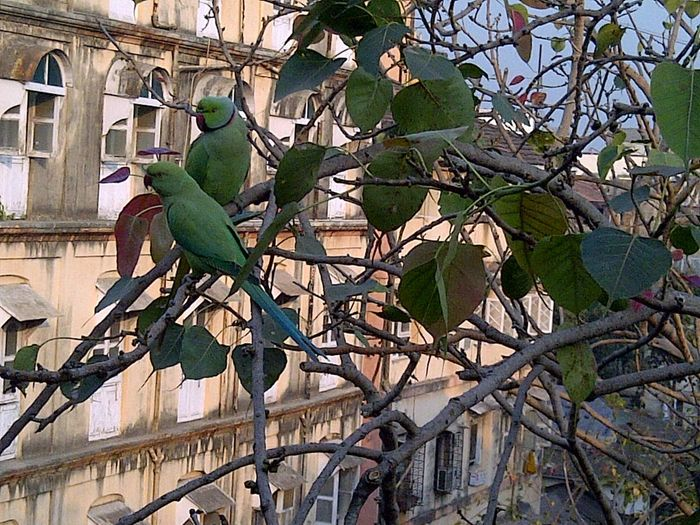 Adapted To The City City Outdoors No People Architecture Day Building Tree Parrot Parakeets Branches Leaves 2 Green Parrot Red Peak Couples Birds Love Birds