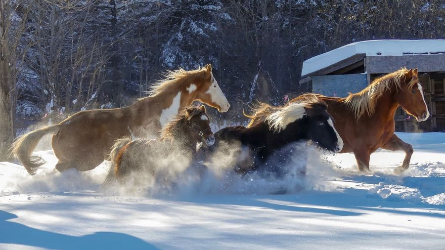 Une belle gang d'amis! 😁 Chevaux Hiver 2016-2017 Horse Photography  Winter Snow Cold Temperature Mammal No People Outdoors Domestic Animals Nature Animal Themes Day Fresh On Market 2018